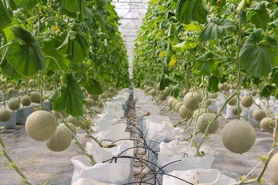 Hệ thống tưới nhỏ giọt cho cây dưa lưới hiệu quả cao