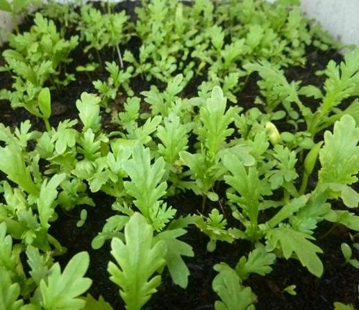 Trồng rau cải cúc tại nhà nhanh thu hoạch