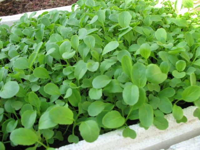 Hướng dẫn cách trồng rau cải xanh tốt cho nhà phố
