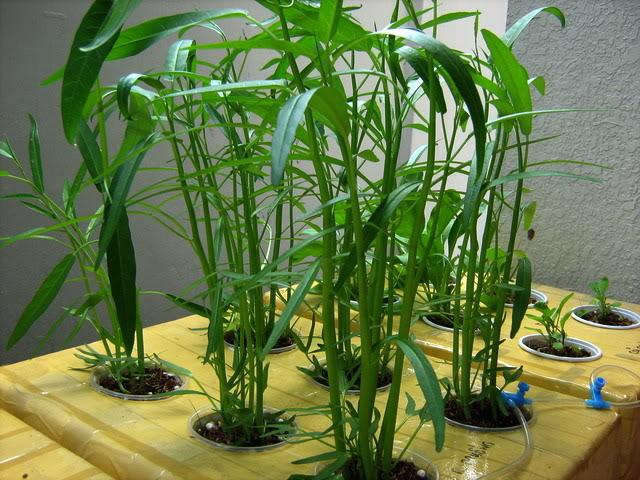 Phương pháp trồng rau muống thủy canh vô cùng đơn giản tại nhà