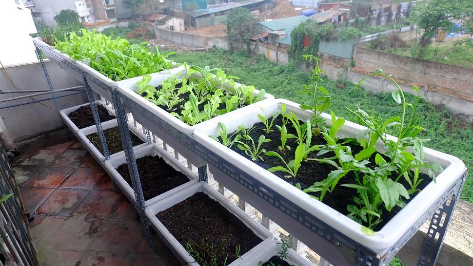 Vườn rau sạch nhà chị Hà - Xuân Diệu