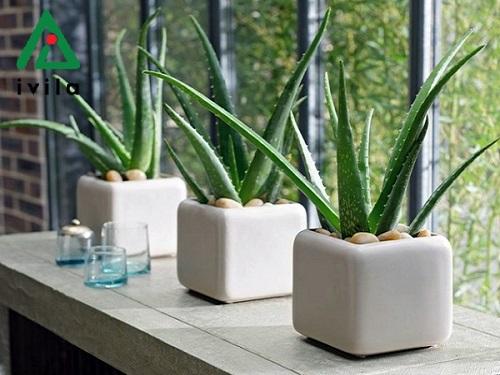 Hướng dẫn cách trồng cây nha đam tại nhà