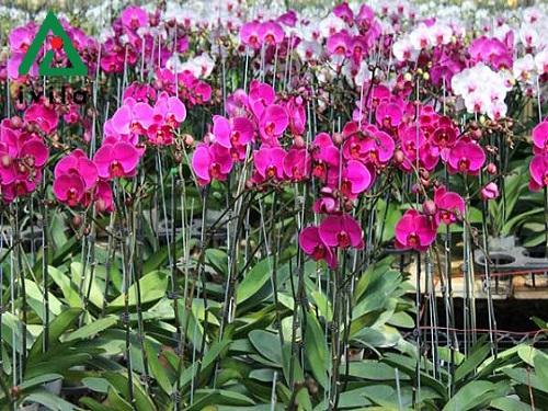 Cách trồng và chăm sóc hoa lan hồ điệp