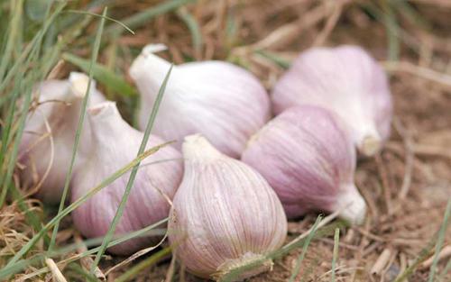 Hướng dẫn cách trồng tỏi tại nhà củ to chất lượng