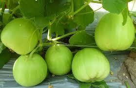 Cách trồng dưa lê tại nhà quả to bất ngờ