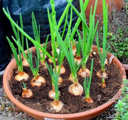 2 cách đơn giản trồng hành lá ngay tại nhà bạn