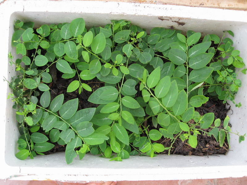 Cách trồng rau ngót trong thùng xốp để ăn quanh năm