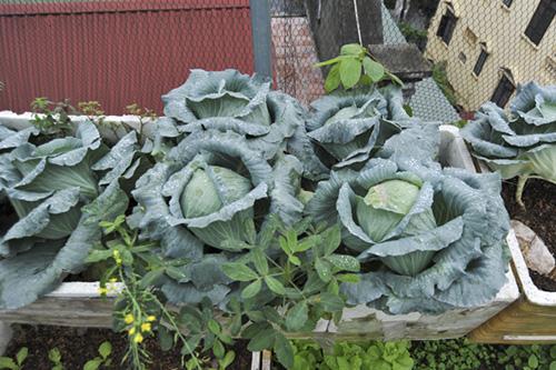 Mùa đông trồng rau gì là thích hợp nhất?