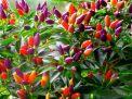 Cách trồng ớt trong chậu tại nhà năng suất gấp đôi